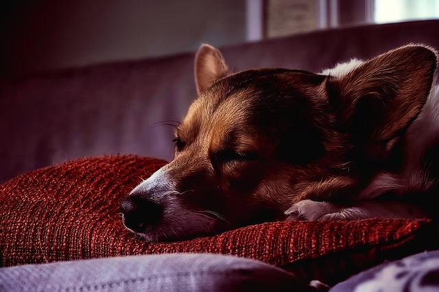 pes na polštáři