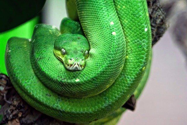 stromový had